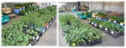野菜苗,接木,苗,産直市場ヤマサン